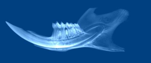 mouse jaw